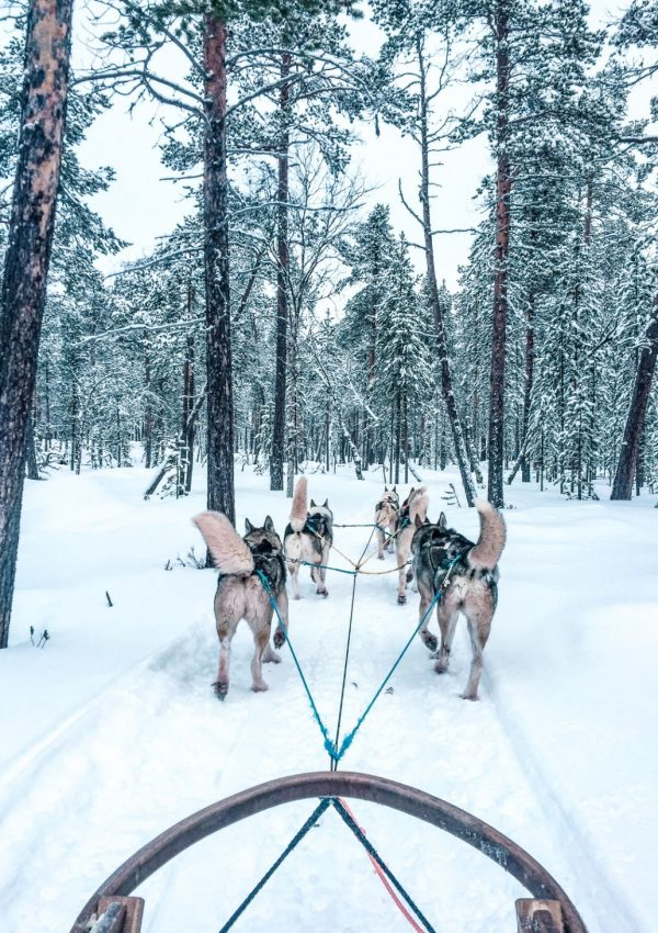 huskies pulling sled in snow in forest in Finnish Lapland