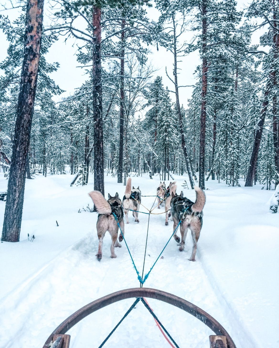 huskies pulling sled in snow in Finnish Lapland
