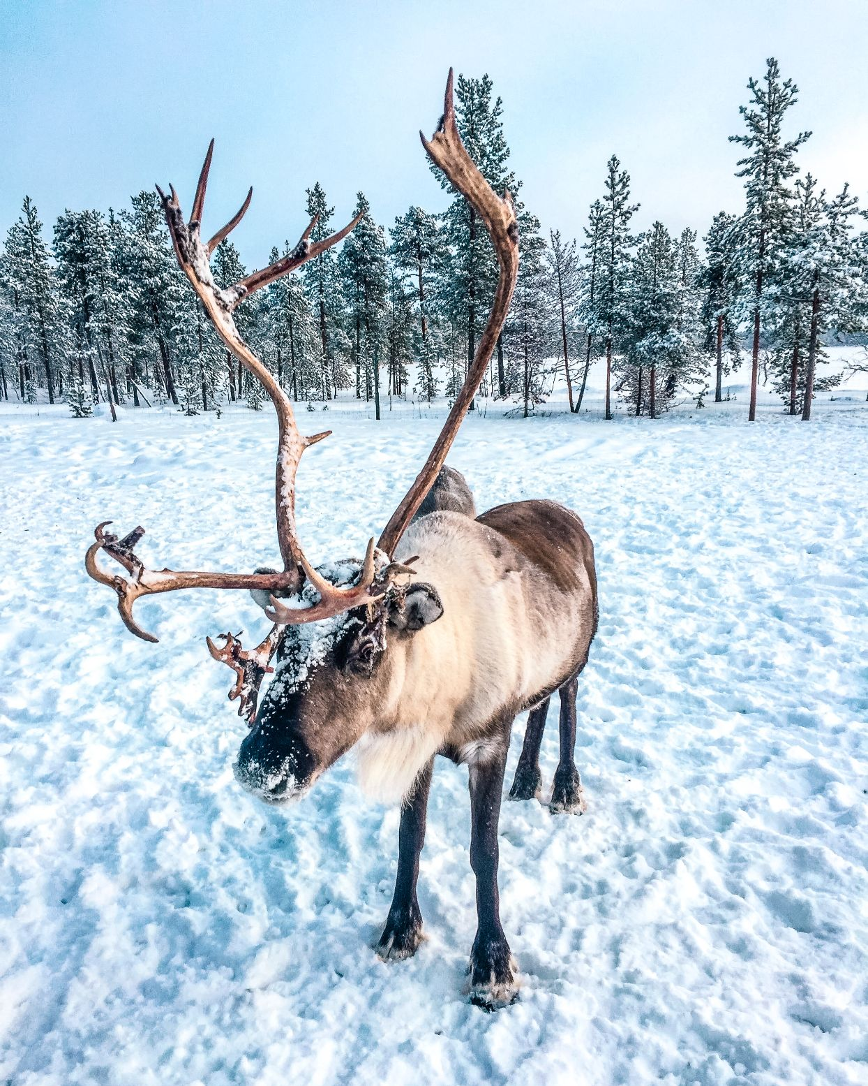large reindeer with antlers standing in snow in Finnish Lapland