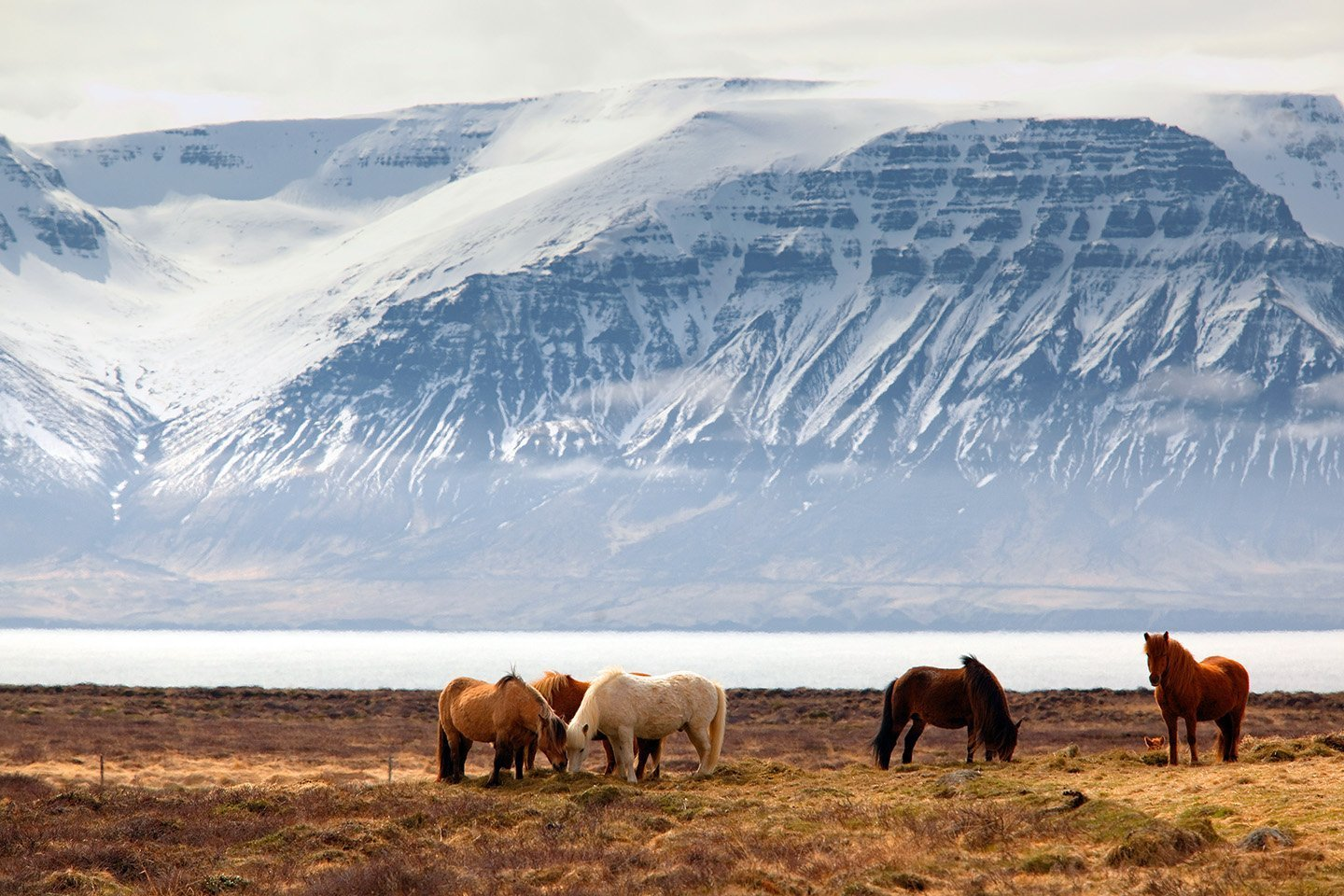 5 Icelandic horses standing in grass with water and snowy mountains in background in Iceland