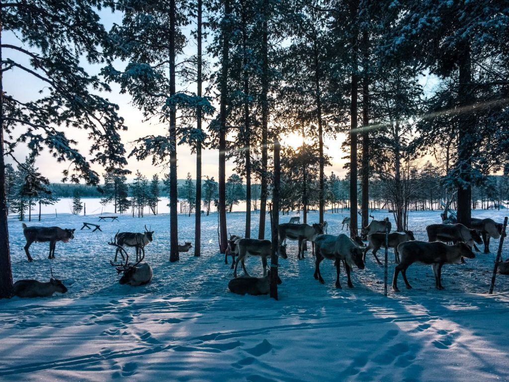 lots of reindeer standing in snow at a reindeer farm in Finnish Lapland