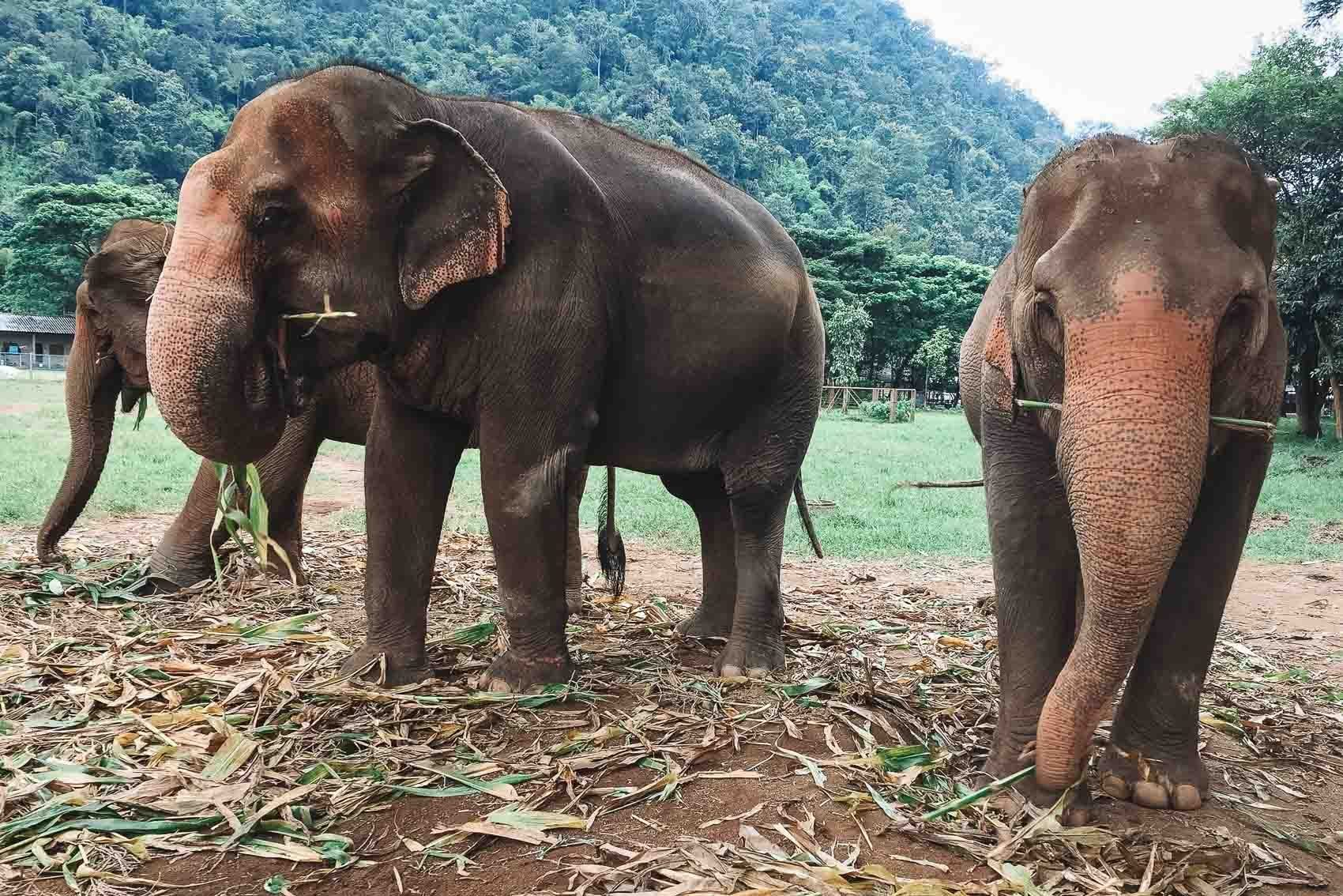 Three elephants eating at elephant nature park in Thailand