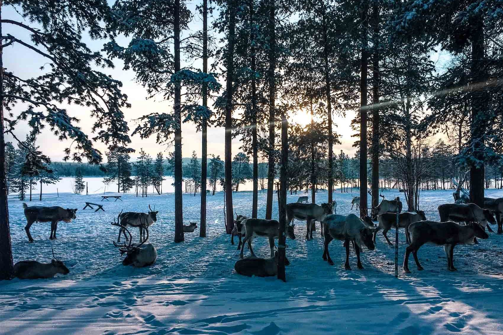 reindeer farm in finnish lapand in winter - bucket list travel