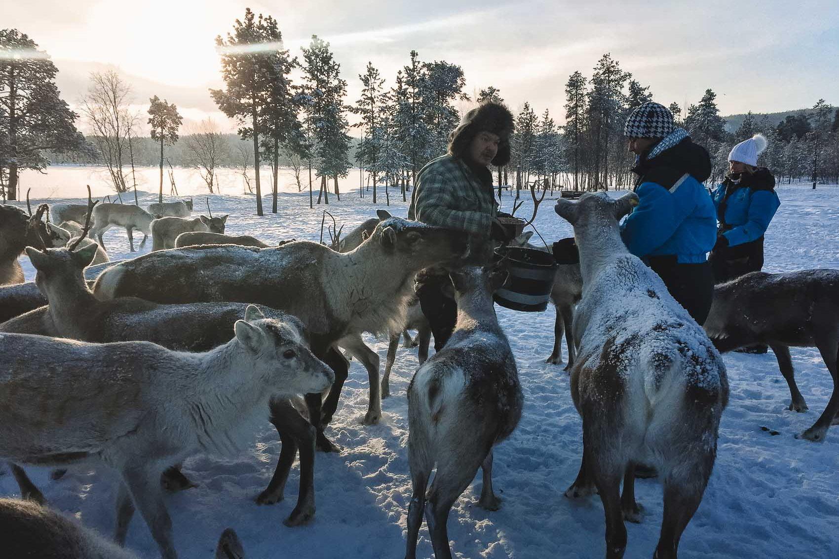 Finnish man feeding many reindeer at a farm in Finnish Lapland - bucket list travel