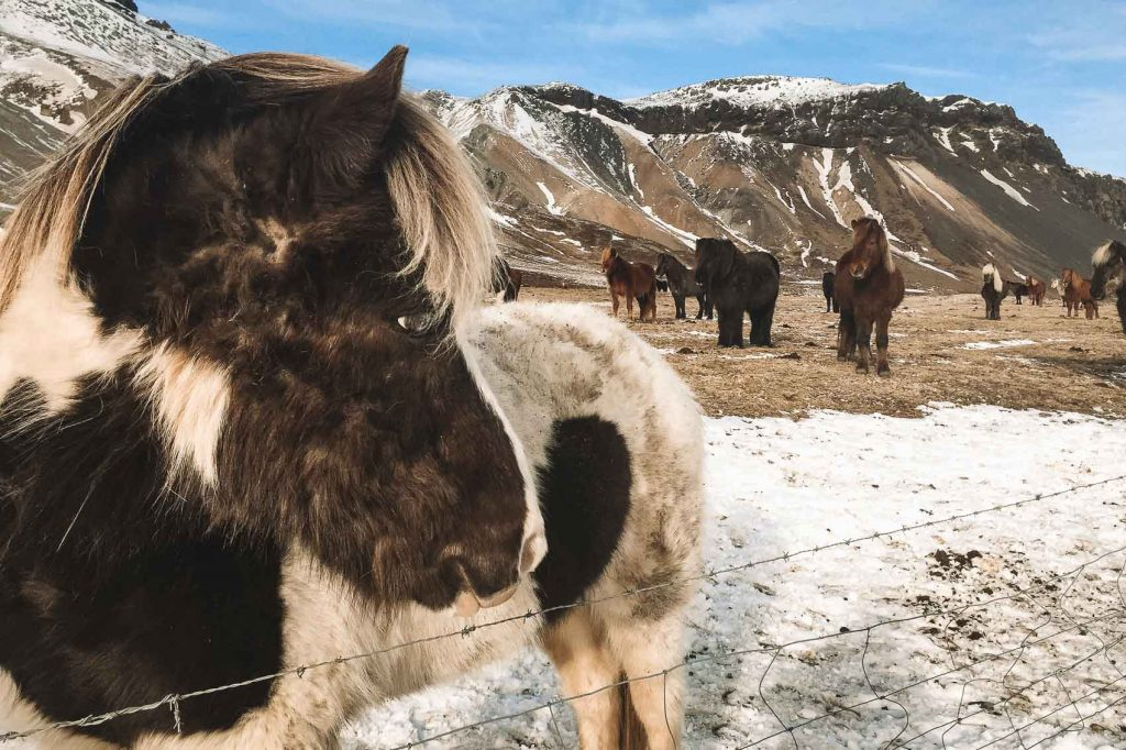 icelandic horses with snowy mountains in the background in the winter in iceland - bucket list travel