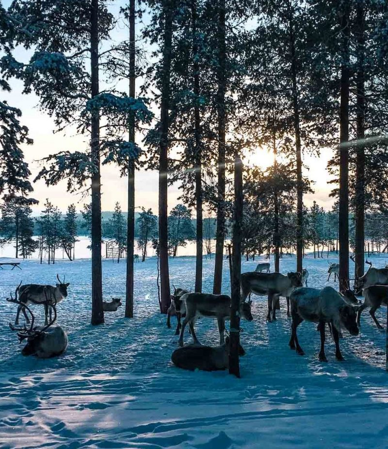 reindeer standing in snow with trees and the sun setting in the background in finnish lapland - bucket list travel